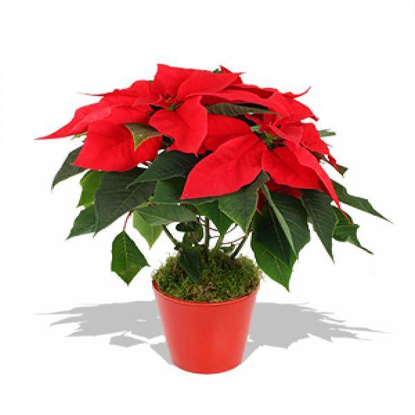 растения с красными листьями такое термобелье Термобелье